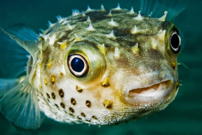 Top 10 most poisonous animals on earth pei magazine for Types of puffer fish