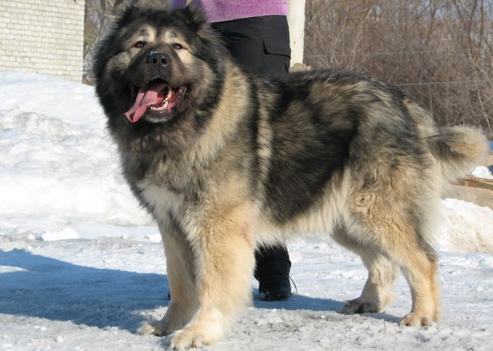 Top Ten Largest Dog Breeds In The World