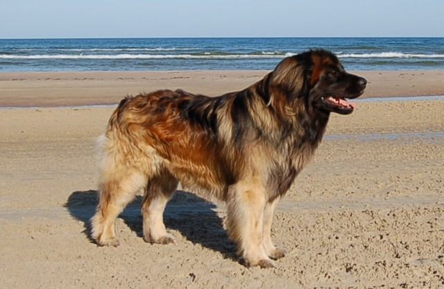 Top 10 Largest Dog Breeds - PEI Magazine
