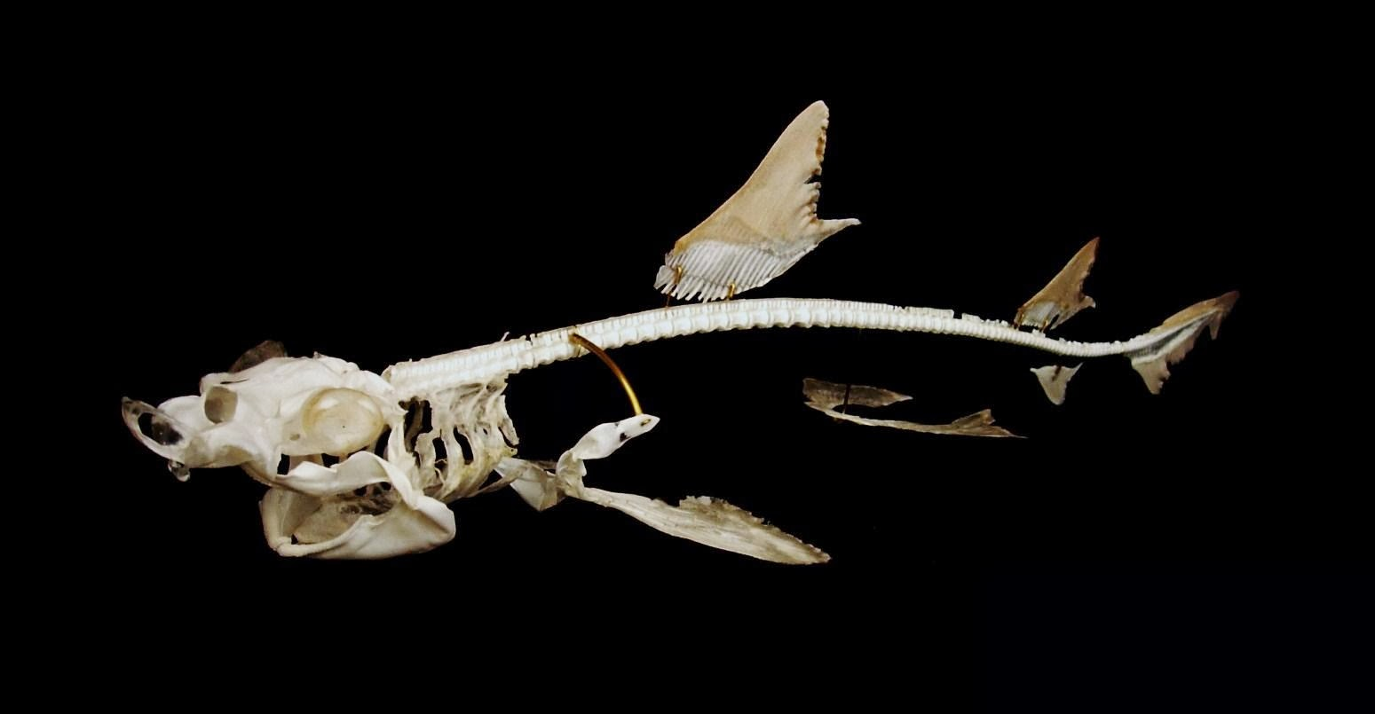 cartilaginous fish skeleton