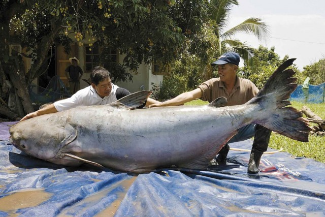 Top 10 Biggest Freshwater Fish in The World