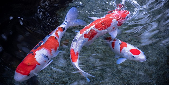 Top 10 animals with the longest lifespan pei magazine for Koi fish environment